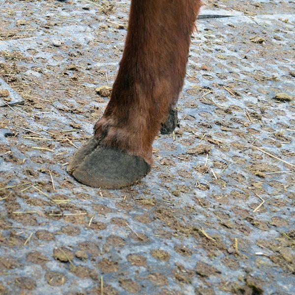 Cow standing on KRAIBURG LOMAX rubber flooring.