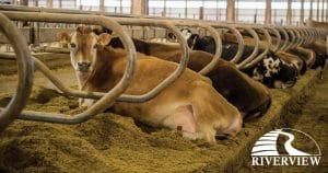 Riverview Dairy Farm in Morris, Minnesota.