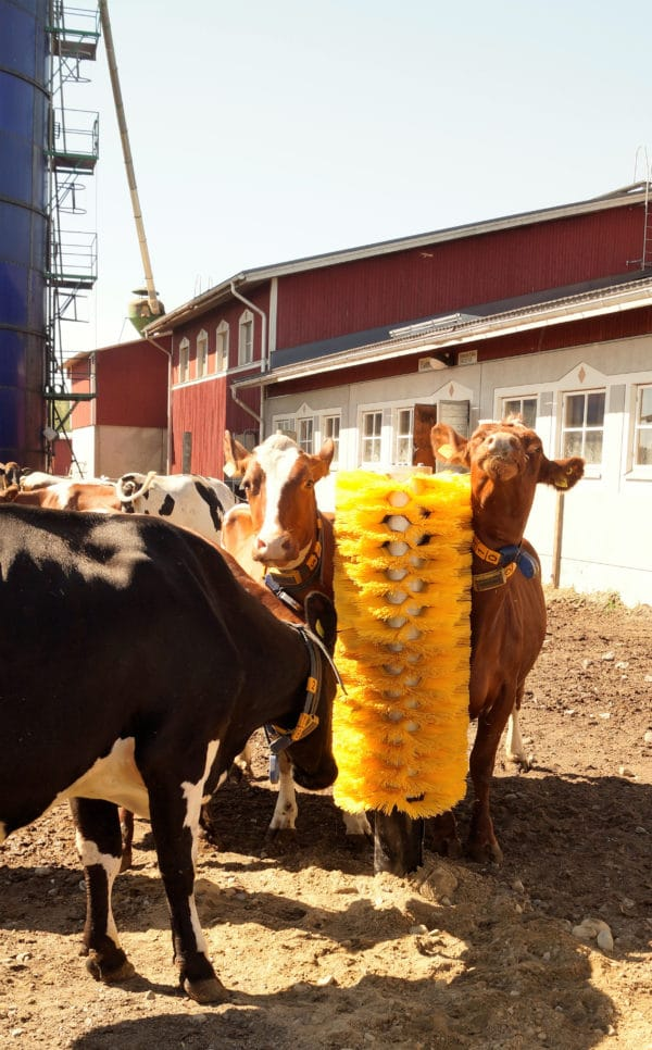 Cows using Agromatic EasySwing Totem Brush