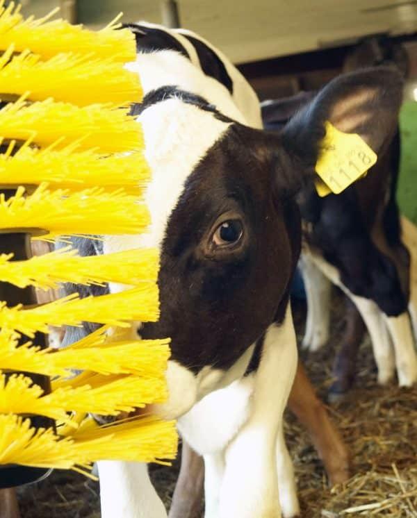 Calves using Agromatic EasySwing Small Brush