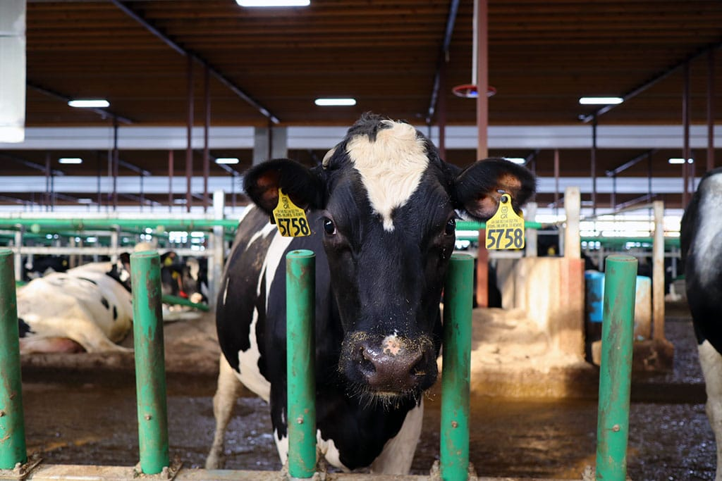 A tagged cow looking at the camera next to Flex Feed.