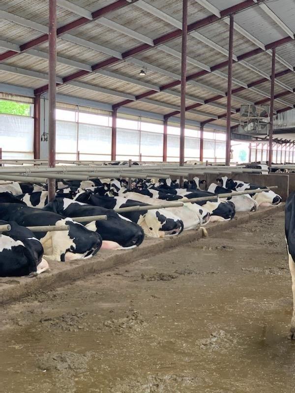 South Dakota cow barn freestalls with gray composite plastic freestall dividers. Photo by Dewey Vine.