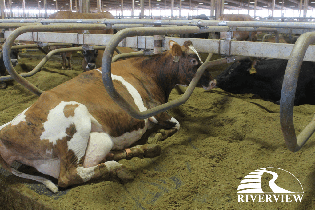 Dairy cow in free stall laying on KIM LongLine rubber stall mat at Riverview LLP dairy farm in Morris, Minnesota