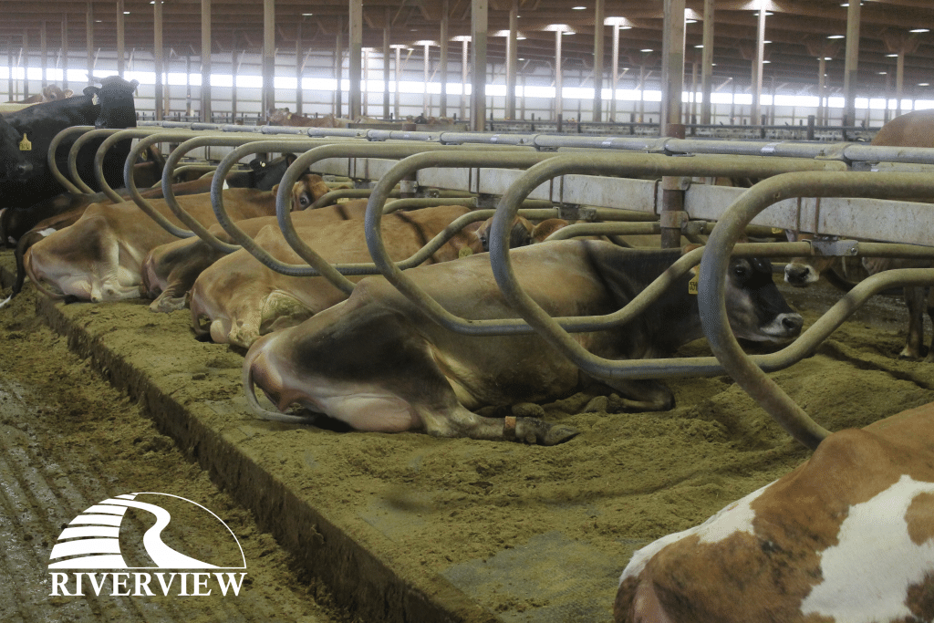 Dairy cows laying on KIM LongLine stall mats at Riverview LLP dairy farm in Morris, Minnesota