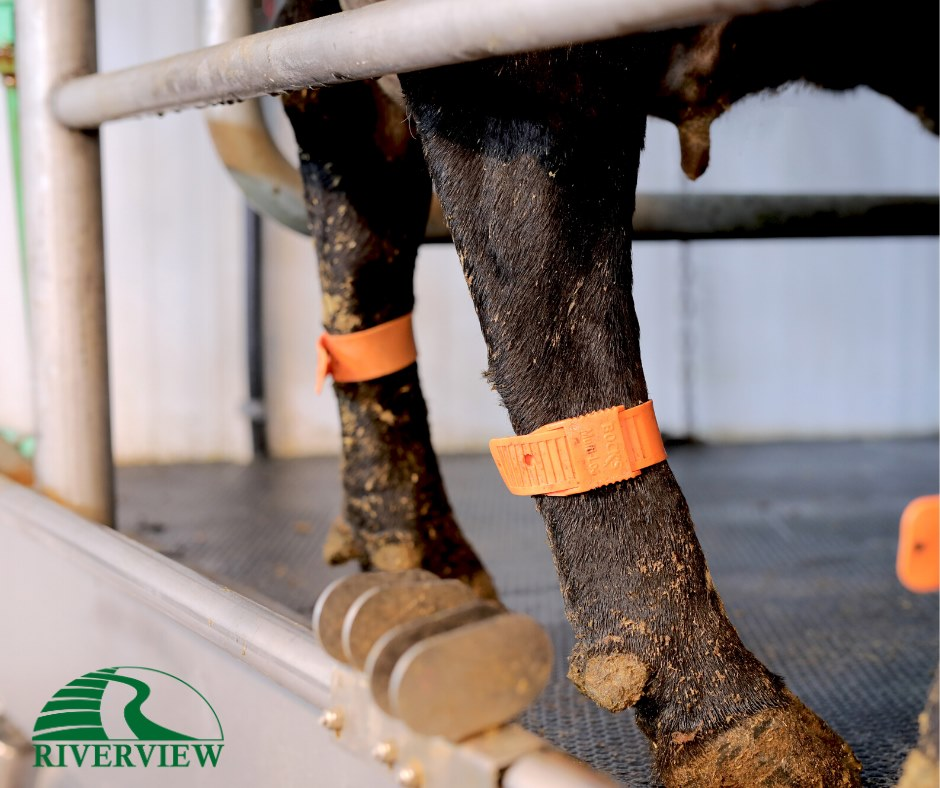 Dairy cow standing on pediKURA rubber mats at Riverview LLP dairy farm in Morris, Minnesota