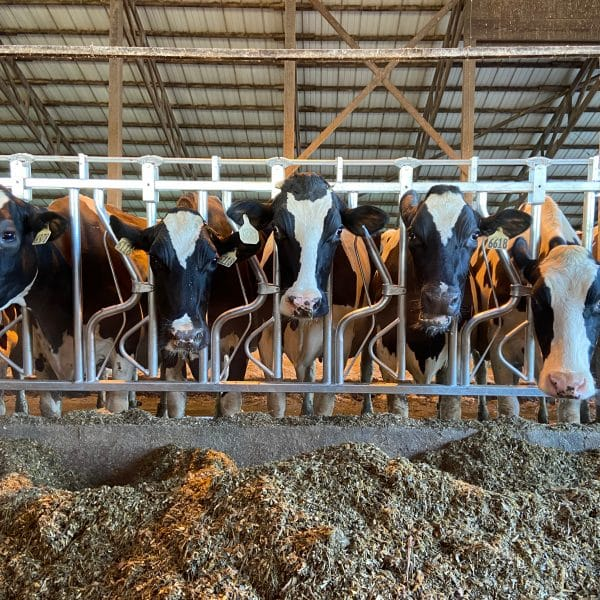 Panel of Agromatic Headlocks with cows feeding.